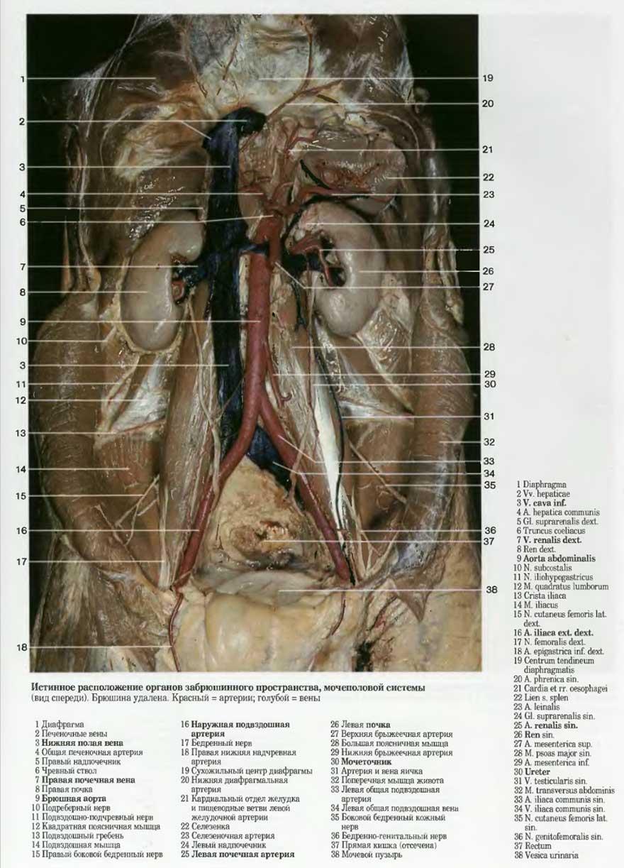 Расположение половых органов женщин 5 фотография